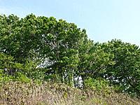 鉢伏山ブナ林