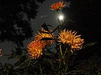 月夜のダリア園