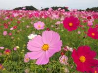 地元の方々の手作りお花畑